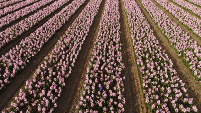 リッセ, オランダのキューケンホフ植物園で美しいチューリップの花の行の空撮。 - キューケンホフ公園点の映像素材/bロール