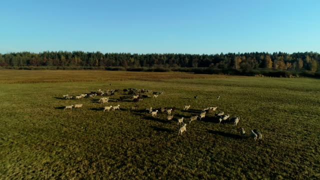 Aerial view of sheep flock grazing in the farm field video