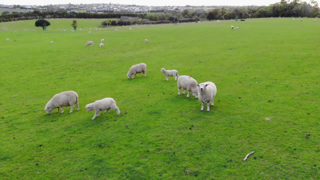 aerial view of sheep graze on a green meadow in the mountains by the sea in new zealand - mandriano video stock e b–roll