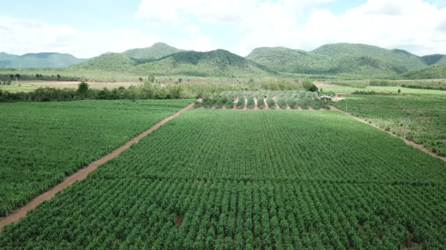 Aerial view of sugar cane field