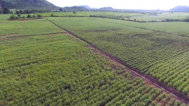 aerial view of sugar cane organic farm with beautiful sunlight - canna da zucchero video stock e b–roll