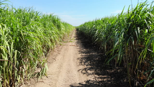 aerial view of sugarcane field - canna da zucchero video stock e b–roll