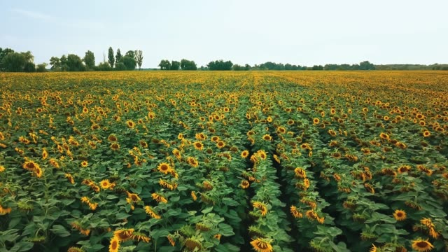 aerial view of sunflowers field