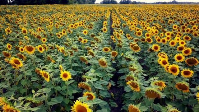 stockvideo's en b-roll-footage met luchtmening van zonnebloemengebied - floral line