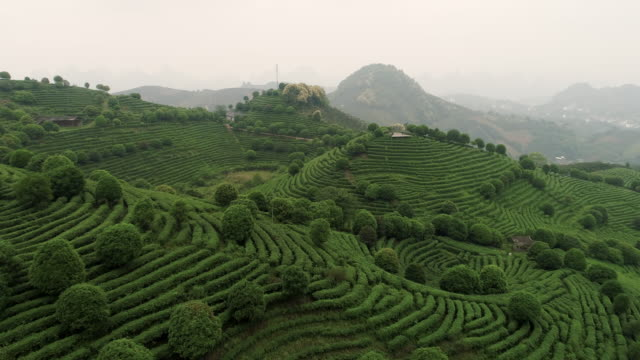 aerial view of tea fields in china, drone moving forward - piantagione video stock e b–roll