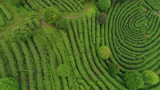 aerial view of tea fields in china, drone moving sideways - aerial agriculture stock videos & royalty-free footage