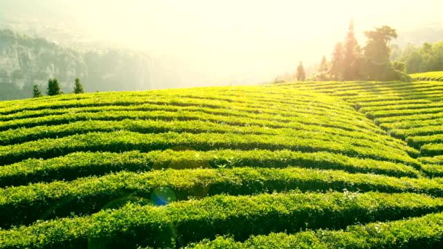 vídeos de stock, filmes e b-roll de vista aérea da plantação de chá - plantação