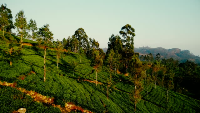 Aerial view of tea plantations Scenic aerial view of tea plantations sri lanka stock videos & royalty-free footage