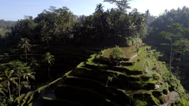 aerial view of terracing field growing semiaquatic rice, malang, indonesia. - taras ryżowy filmów i materiałów b-roll