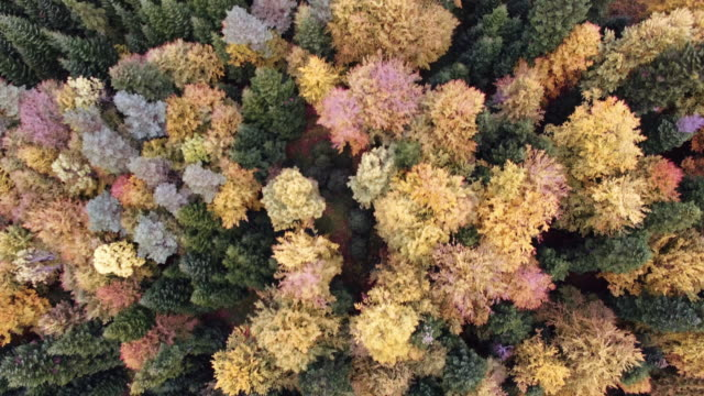 Aerial view of the autumnal forest. Pines and maples video
