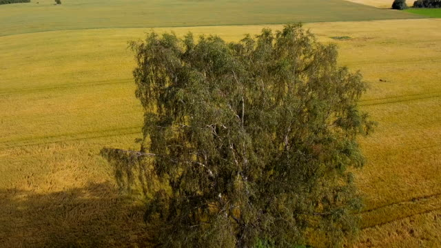 Aerial view of the birch tree in the field video