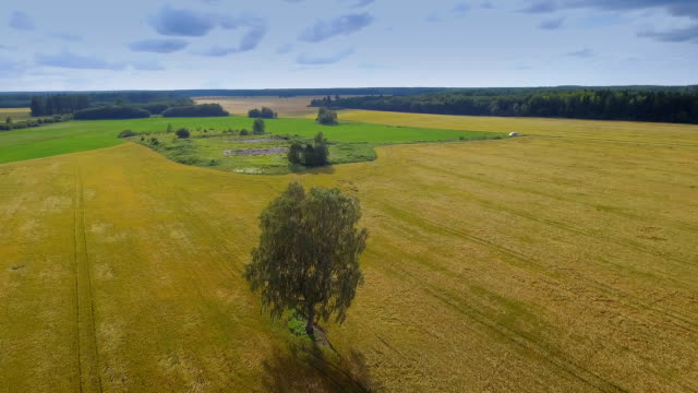 Aerial view of the cereal field and the birch tree video