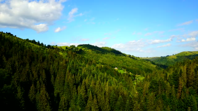 Aerial view of the mountains Carpathians and cow, Ukraine. Drone flight video