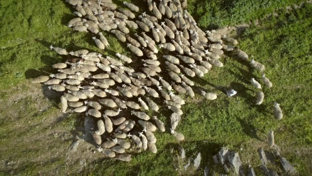 Aerial view of the sheep herd moving around on farmland in Greece.