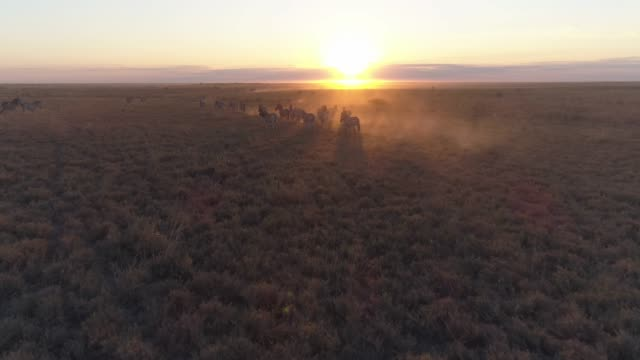 Aerial view of the zebra migration running into the sunrise in the Makgadikgadi grasslands, Botswana Aerial view of the zebra migration running into the sunrise in the Makgadikgadi grasslands, Botswana botswana stock videos & royalty-free footage