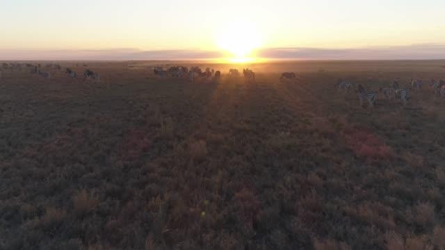 aerial view of the zebra migration running into the sunrise in the makgadikgadi grasslands, botswana - równina filmów i materiałów b-roll