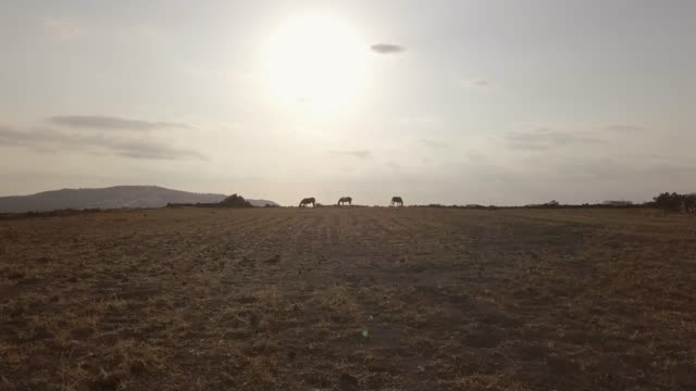aerial view of three horses on empty field in greece. - equino video stock e b–roll