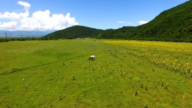 Aerial view of two beautiful horses grazing on field, eating fresh green grass video