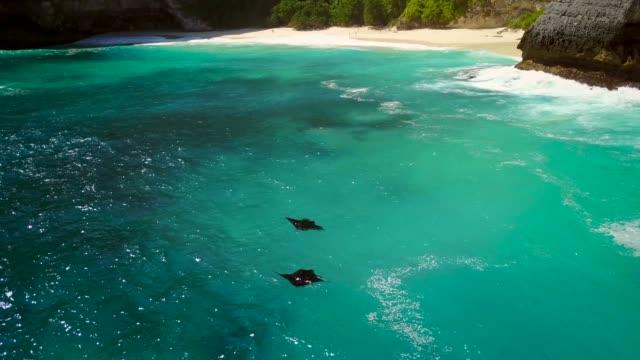 vídeos de stock e filmes b-roll de aerial view of two mantarays off island nusa penida, indonesia. - uge