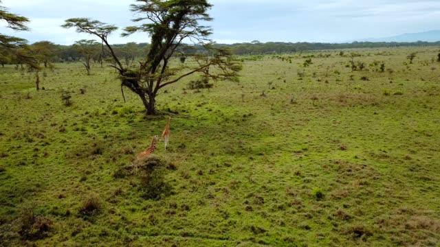 vídeos de stock e filmes b-roll de aerial view of wild giraffes in african savannah in lake nakuru national park, kenya - quénia