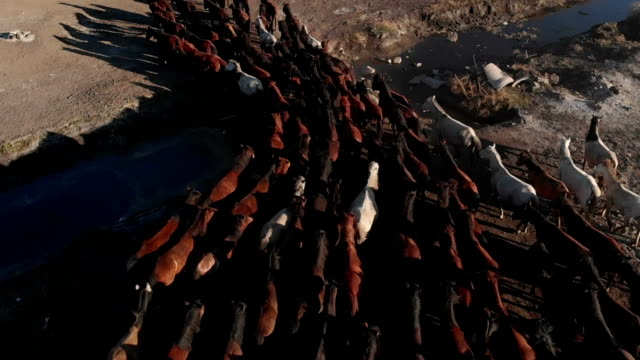 aerial view of wild horses - stallone video stock e b–roll