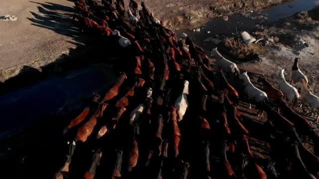 luftaufnahme von wildpferden - hengst stock-videos und b-roll-filmmaterial