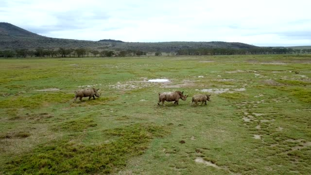 vídeos de stock e filmes b-roll de aerial view of wild rhinos in african savanna in lake nakuru national park, kenya - quénia