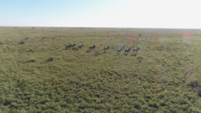 Aerial view of zebra running in the grasslands of the Okavango Delta video