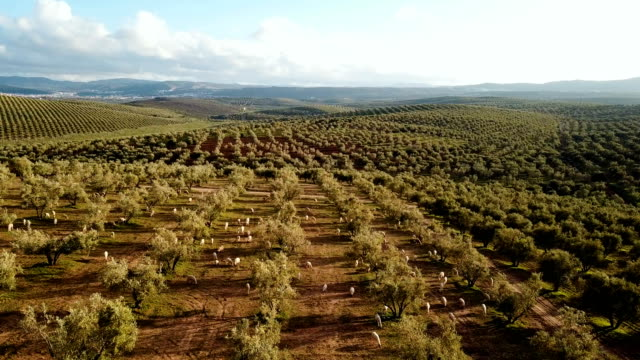 Aerial view over a big olive tree field in Morocco. Panoramic view over agricultural fields of olive under the sun. A lots of fiels in the horizon.