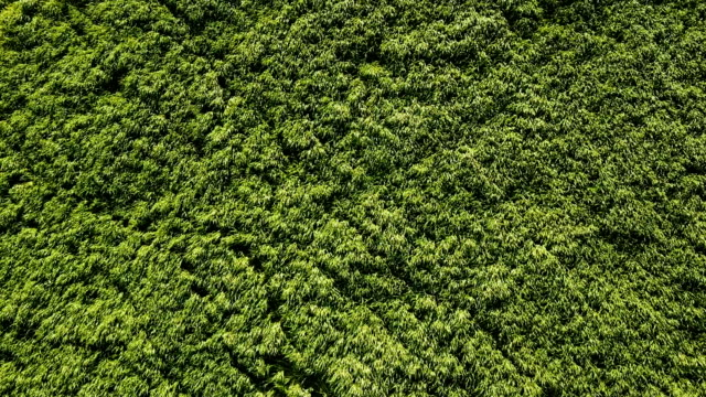 aerial view over an alfalfa field in morocco, under the sun. - erba medica video stock e b–roll