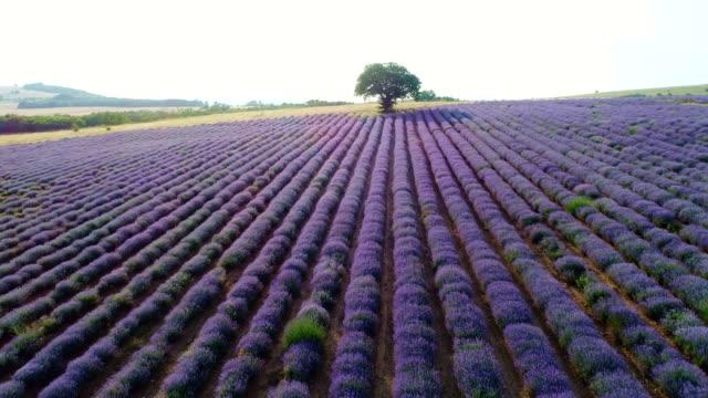 flyg utsikt över lavendel fält i vårtid, småföretag och investeringar, jordbruk ockupation. - bulgarien bildbanksvideor och videomaterial från bakom kulisserna