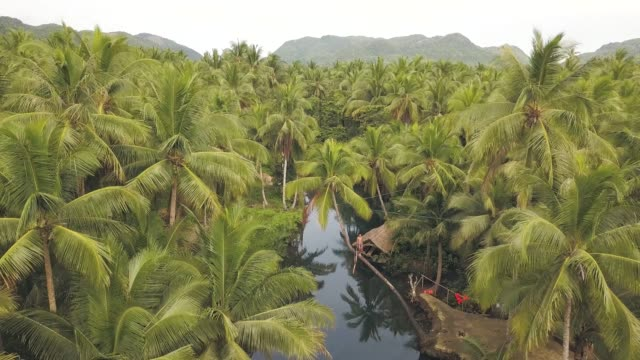 Aerial view over palm trees and river, a man trying to balance on a coconut tree Aerial view over palm trees and river, a man trying to balance on a coconut tree. Drone footage of a man on top of bent coconut branch, on a river sorrounded with pam trees. Famous tourist spot in Philippines. coconut palm tree stock videos & royalty-free footage