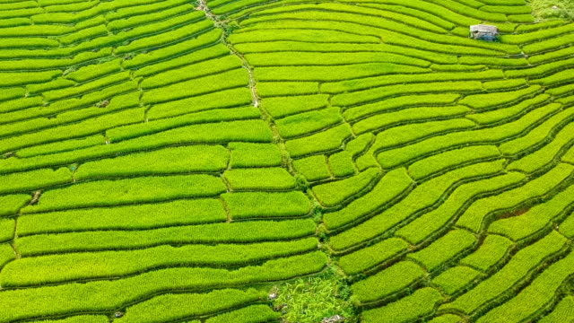 Aerial view over terraced rice paddies at morning in Thailand video