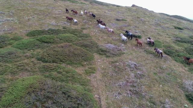 aerial view over wild herd of horses running in the mountains in summer. mustangs. - мустанг стоковые видео и кадры b-roll