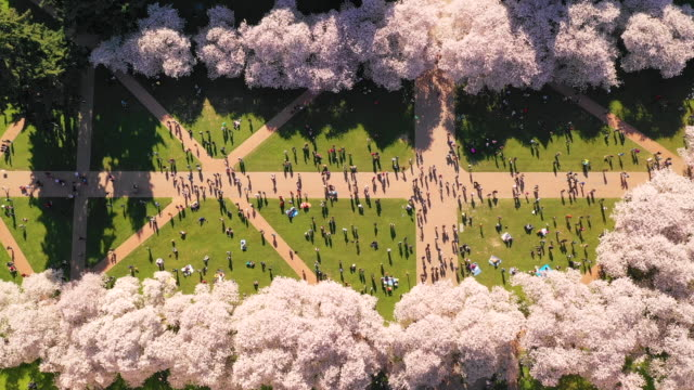 Aerial View People in University Courtyard Enjoying Blooming Cherry Blossoms