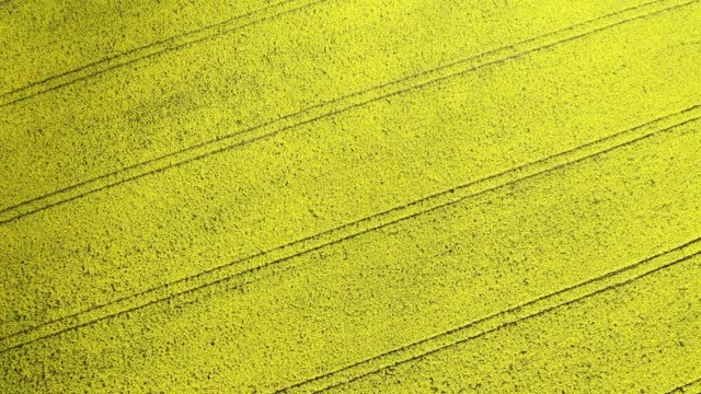aerial view rapeseed fields at sunny day - canola video stock e b–roll