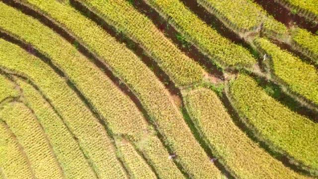 空中ビューライスフィールドライステラス - 稲点の映像素材/bロール