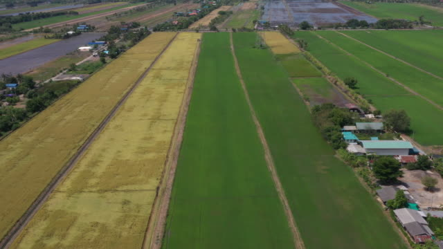 Aerial view rice field. video