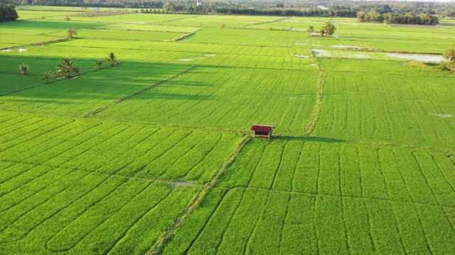 aerial view rice fields, agricultural land with sown green in countryside. farmland with agricultural crops in rural areas thailand. Land with grown plants of paddy Aerial footage.