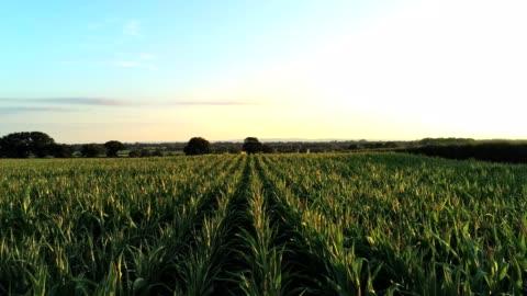 vista aerea, mosca lenta sopra foglie fresche di campo di grano verde - campo video stock e b–roll