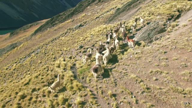 山湖ボリビアを実行している 4 k 撮安定したラマ オーストリア ピコ - 野生動物旅行点の映像素材/bロール