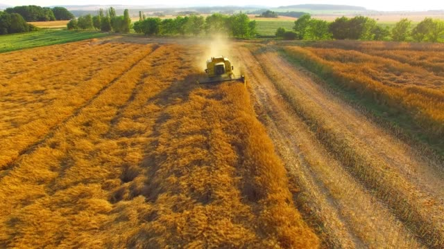 aerial view to combine harvester working on rapeseed field. - colza video stock e b–roll