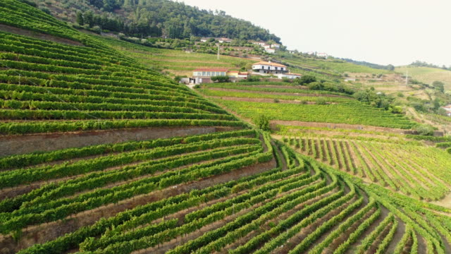 vídeos de stock e filmes b-roll de aerial view vineyards on terrace in douro valley - douro