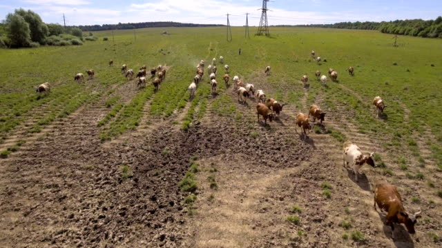 Aerial view:Cows walking along the road video