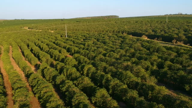 aerial viewof green coffee field - piantagione video stock e b–roll