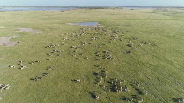 4k aerial zoom in view of a large herd of migrating zebra coming to drink at a waterhole on the makgadikgadi grasslands, botswana - водная яма стоковые видео и кадры b-roll