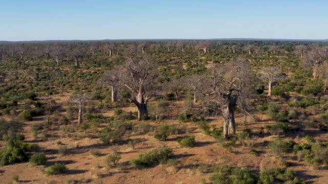 luftzoom mit blick auf wunderschöne große baobab-bäume im gonarezhou-nationalpark, simbabwe - affenbrotbaum stock-videos und b-roll-filmmaterial