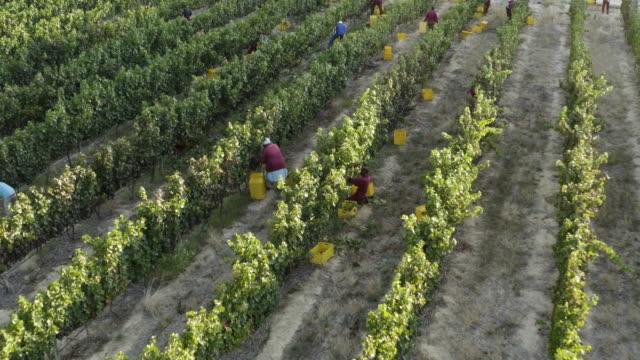 vídeos y material grabado en eventos de stock de 4k vista aérea de los trabajadores agrícolas que cosechan uvas en viñedos en una finca vinícola en la provincia occidental del cabo, sudáfrica - plantación