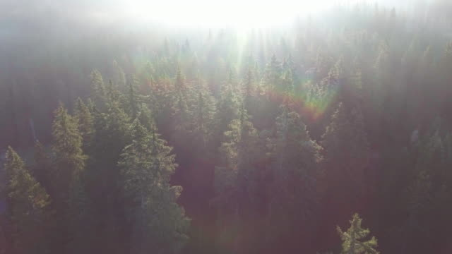 Aerial:Pine forest at sunrise video