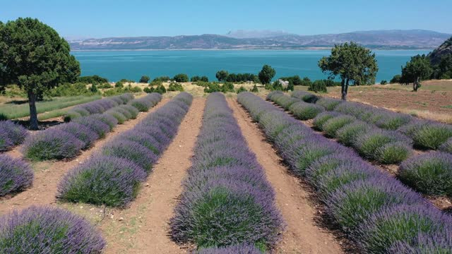 AERIAL.View from above on the lavender fields overlooking the sea. AERIAL.View from above on the lavender fields overlooking the sea. High quality 4k footage aegean sea stock videos & royalty-free footage
